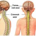 Головной и спинной мозг человека