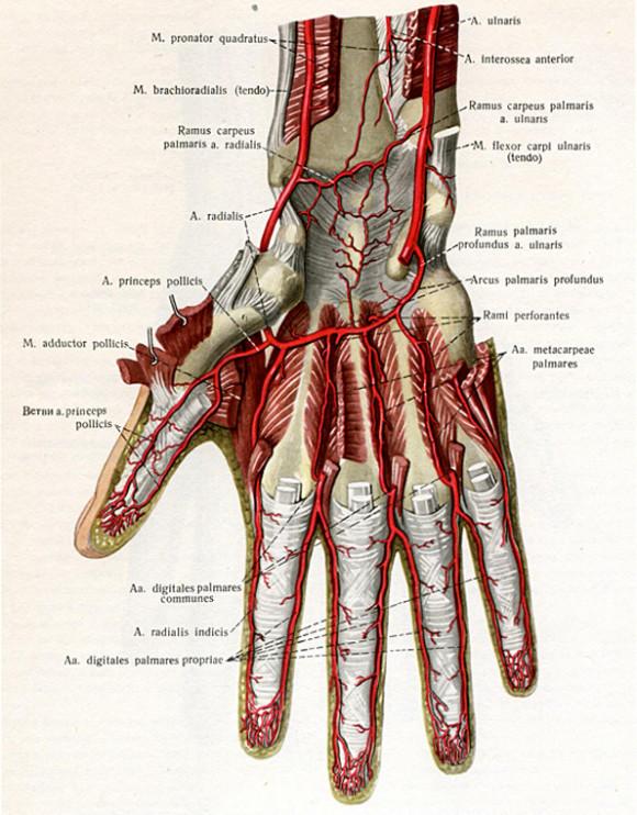 Кровоснабжение кисти руки
