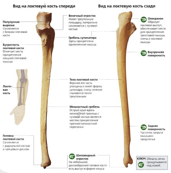 Локтевая кость и ее строение