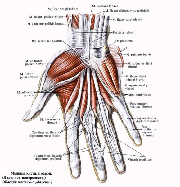 Мышечный аппарат кисти правой руки