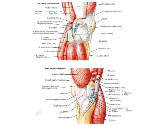 Мышечный аппарат колена