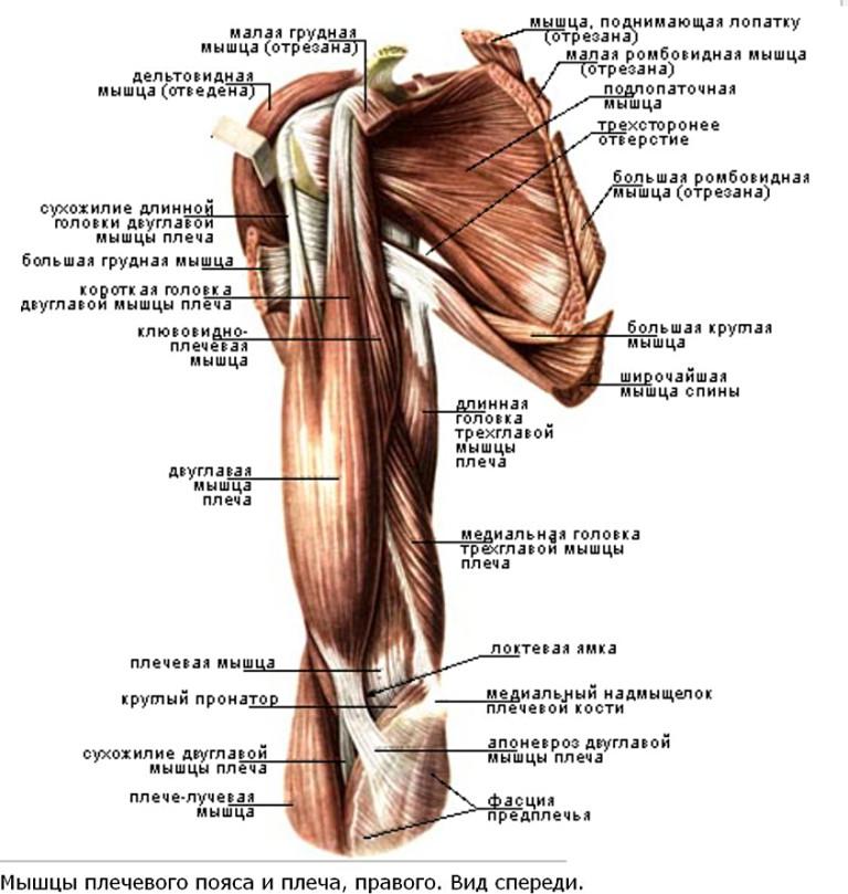 Почему болит мышца от плеча до локтя