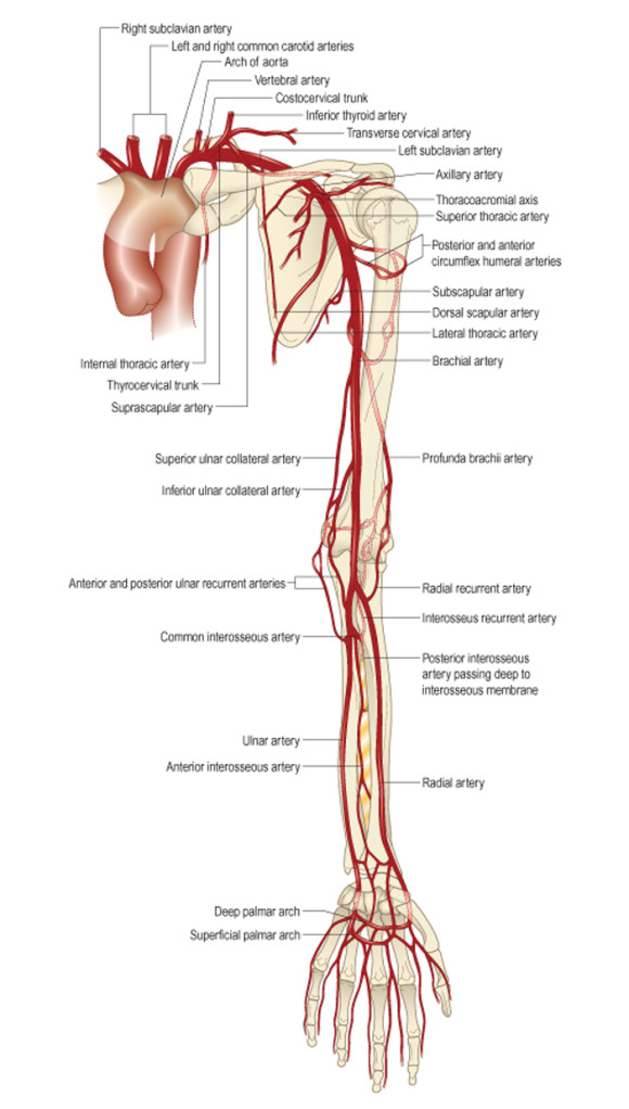 Нервная и кровеносная системы сустава