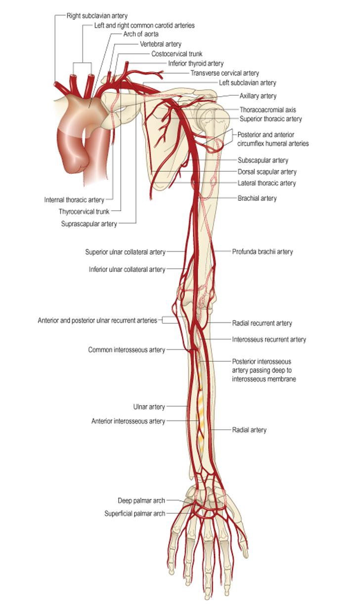 Строение верхнего плечевого пояса плечевой сустав локтевой сустав артролаваж височно-нижнечелюстного сустава