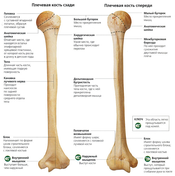 Плечевая кость и ее строение