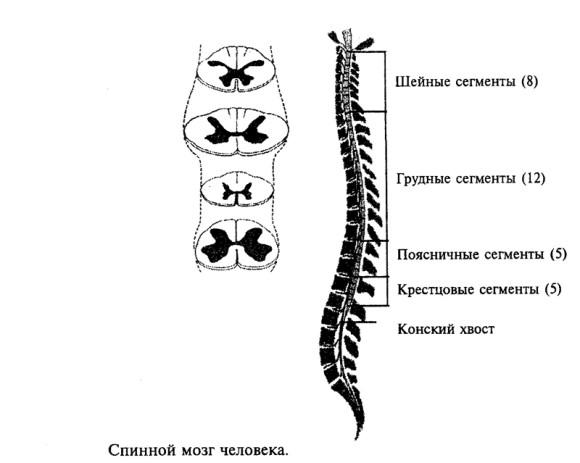 Сегментарное строение спинномозгового тяжа
