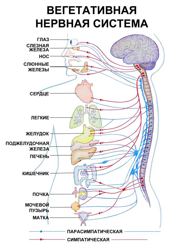 Спинномозговые функции и их особенности
