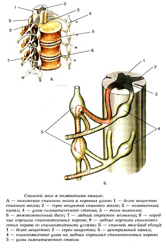 Строение спинного мозга и его корешков
