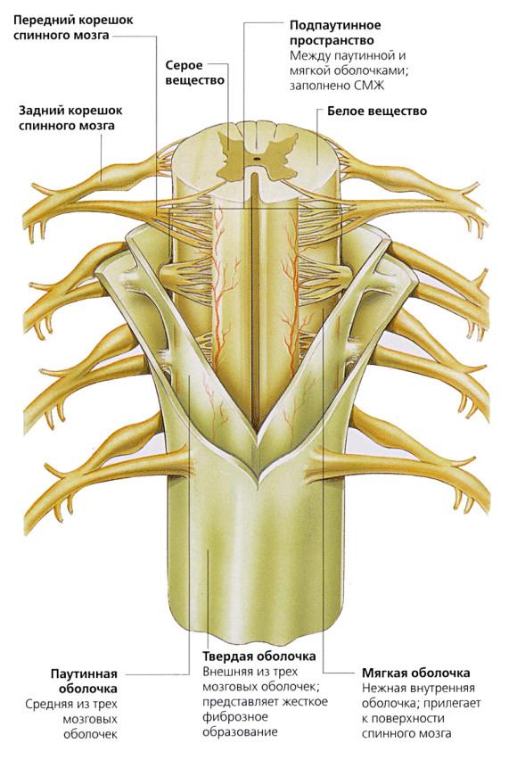 Внешнее строение спинного мозга