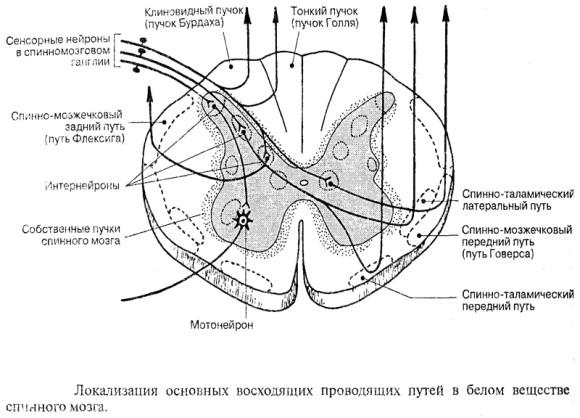 Внутреннее строение спинного мозга