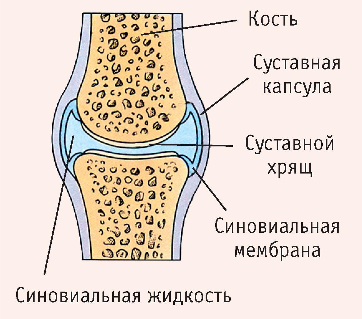 строене и функции коленного сустава