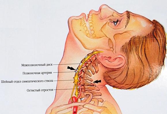 Нервная и кровеносная система в шейном отделе