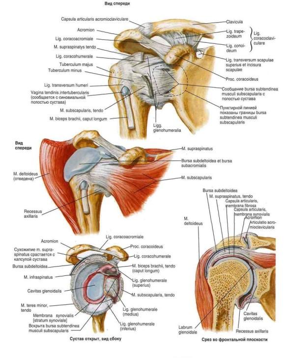 Строение плечевого сустава